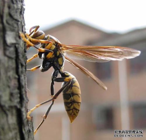 灭绝的大黄蜂物种面临灭绝的威胁